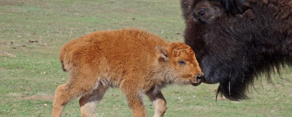 Slide - Bison cow and newborn calf.
